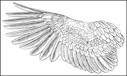 Drawn wings feathered wing