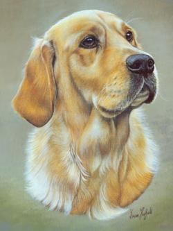 Drawn golden retriever labrador
