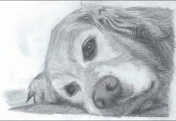 Drawn golden retriever sketch