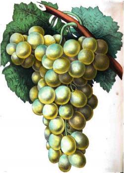 Drawn grapes golden