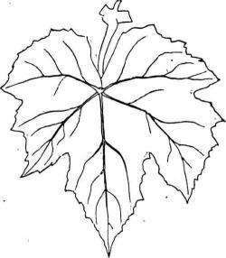 Drawn foliage fig leaf