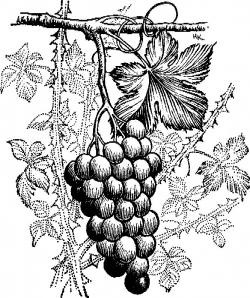 Drawn grapes grape bunch