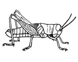Grasshopper clipart sketch