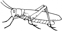 Drawn insect grasshopper