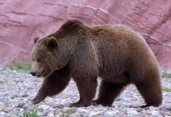 Drawn grizzly bear california state