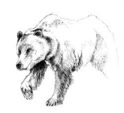 Drawn grizzly bear sketch