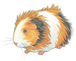 Drawn guinea pig painting