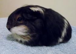 Drawn guinea pig sheltie