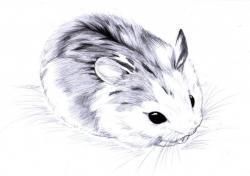 Drawn hamster dwarf hamster