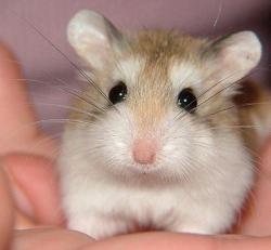 Drawn hamster roborovski