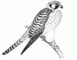 Drawn hawk sparrow hawk