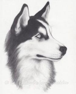 Drawn husky alaskan husky