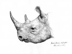 Drawn rhino pencil drawing