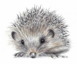 Drawn hedgehog baby