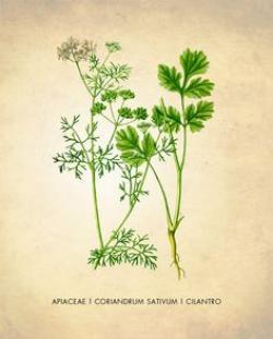 Drawn herbs coriander plant