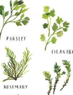 Drawn herbs culinary