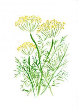 Drawn herbs dill plant