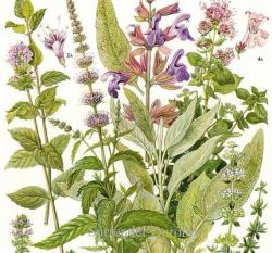 Drawn herbs marjoram