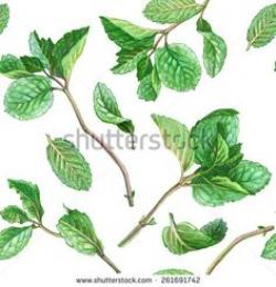 Drawn herbs mint leaf