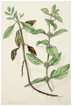 Drawn mint botanical illustration