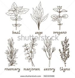 Drawn herbs oregano