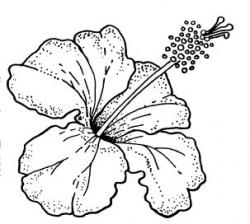 Drawn hibiscus art
