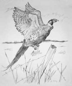 Pheasant clipart pencil drawing