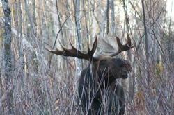 Drawn hunting moose
