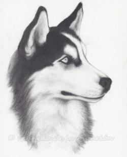 Drawn husky