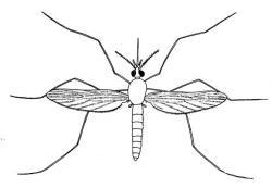 Drawn mosquito
