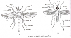 Drawn insect anopheles mosquito