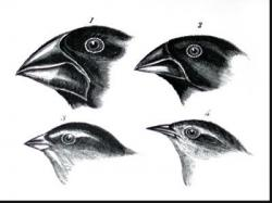 Finch clipart darwins