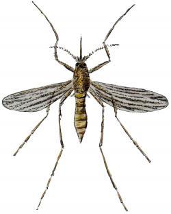 Drawn mosquito scientific