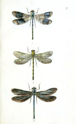 Drawn mosquito dragonfly