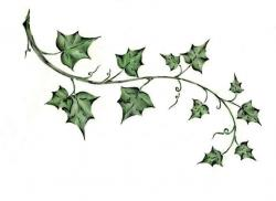 Drawn foliage ivy