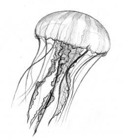 Drawn jellyfish pencil drawing