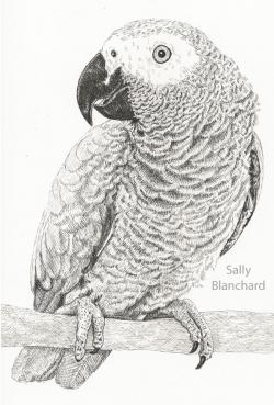 Drawn parakeet african grey parrot