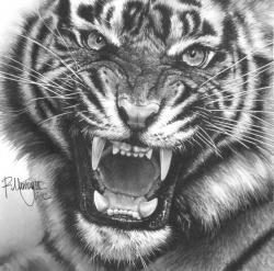 Drawn tiiger siberian tiger