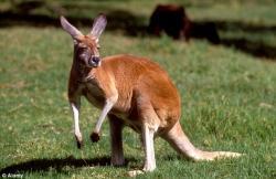 Drawn kangaroo australian kangaroo