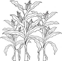 Drawn corn corn stalk
