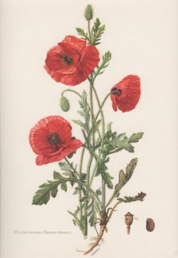 Drawn poppy botanical illustration