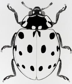 Drawn insect ladybird