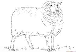 Drawn sheep mammal