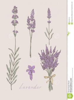 Drawn herbs lavender plant