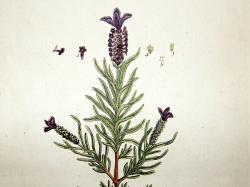 Drawn lavender french lavender