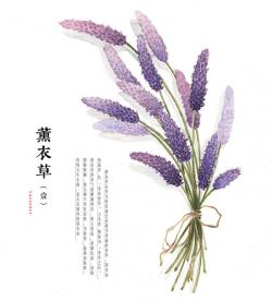 Drawn lavender lavendar