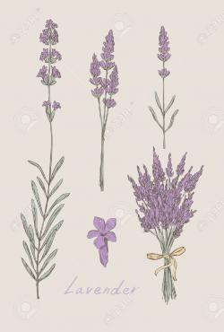 Drawn lavender lavender bouquet