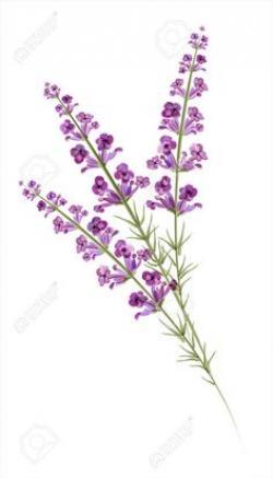 Drawn lavender lavender flower