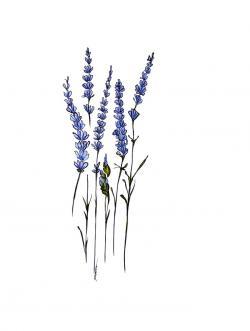 Drawn lavender lavender sprig