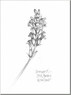 Drawn lavender lilac